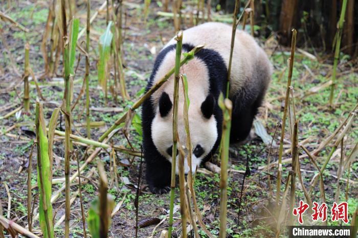 峨边村民家苞谷地里来了只大熊猫 张汶雯 摄