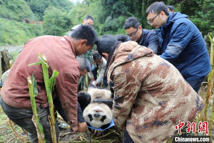 熊猫专家准备现场对野生大熊猫进行检查。 张汶雯 摄