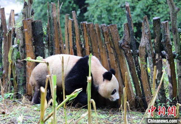 野生大熊猫体长约1米,体重约70公斤。 张汶雯 摄