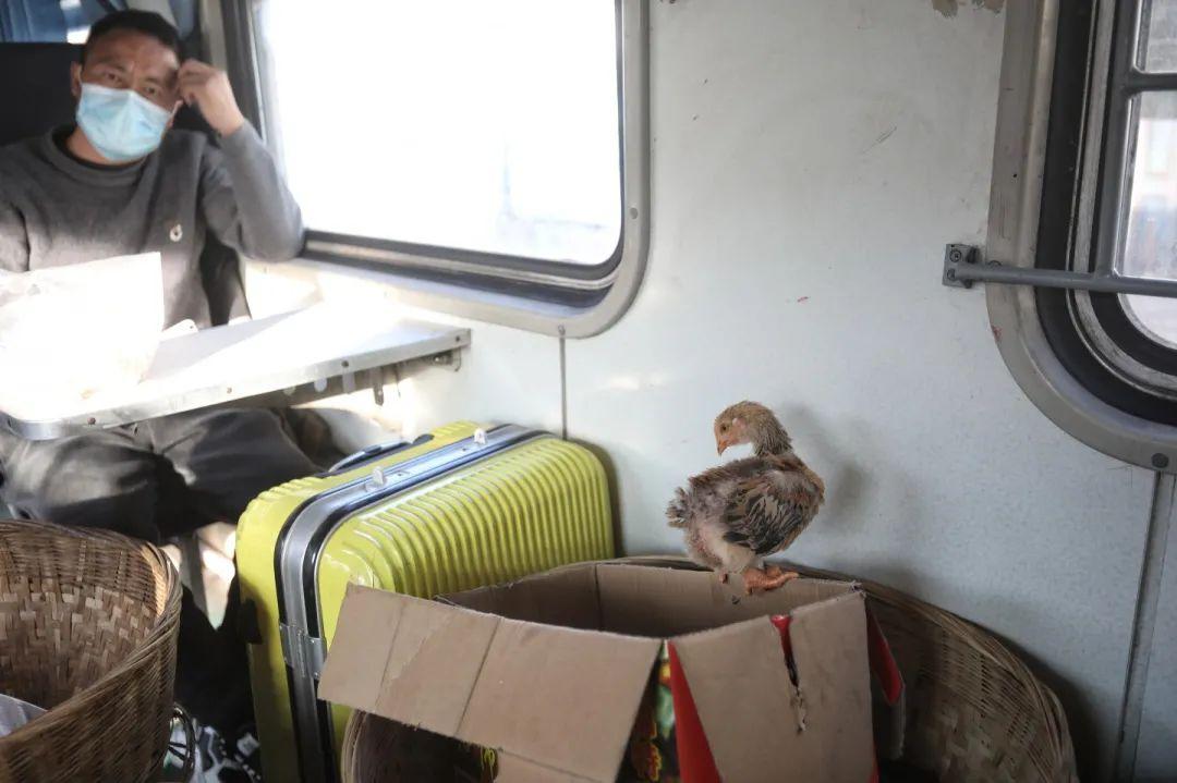 2月26日,5634次列车上,一只小鸡跳出了纸箱。新京报记者 王嘉宁 摄