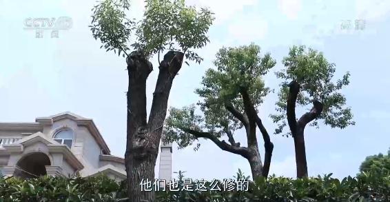 上海老人修剪自家树被罚  树危害大还是情僵硬执法危害大?(图8)