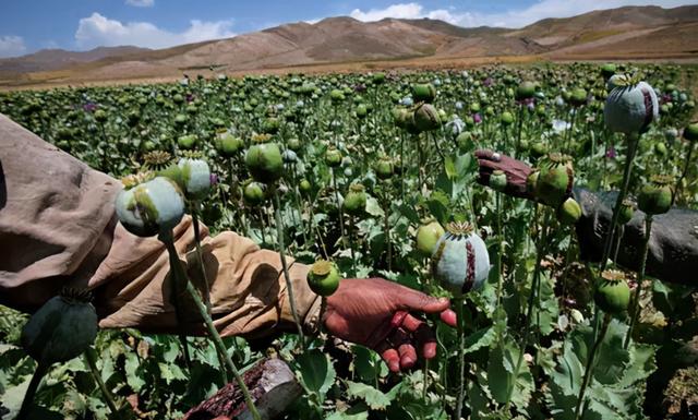 从苏军入侵到美军撤出:阿富汗为何变成毒品之国