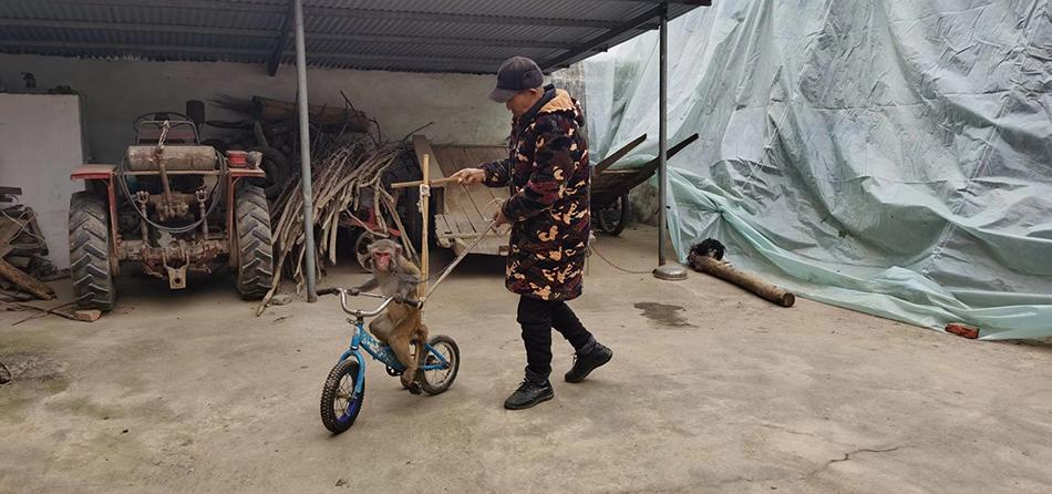 新野猴戏艺人正在训练猴子骑小车。 澎湃新闻记者 段彦超 摄