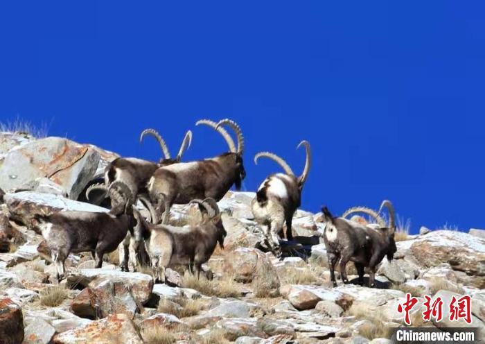 野生动物的生存环境得到改善,马克波罗盘羊、雪豹、北山羊等种群数量明显增加。塔县县委宣传部供图