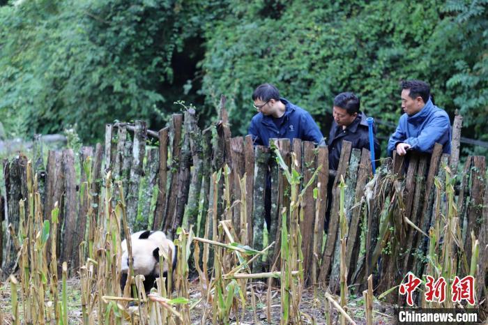 熊猫专家赶到现场查看野生大熊猫情况。 张汶雯 摄