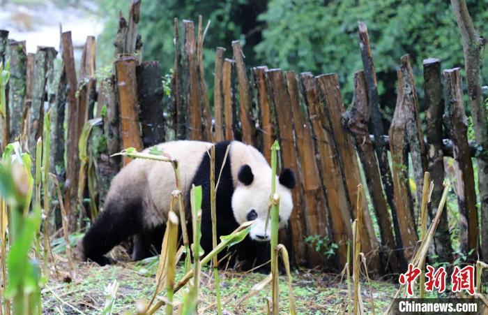 """下山""""做客""""的野生大熊猫。 张汶雯 摄"""