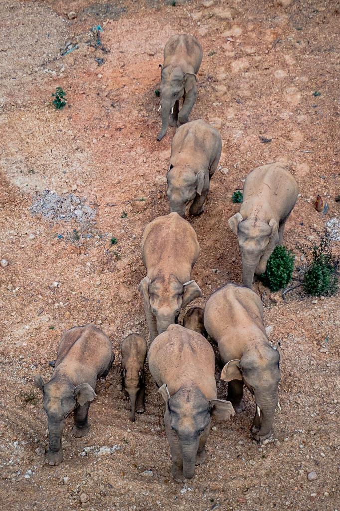 5月28日在云南省玉溪市峨山县境内拍摄的象群(无人机照片)。图片来自新华社