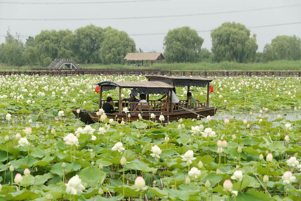 焦岗湖国家湿地公园荷花淀,游人乘坐游船观赏荷花。 视觉中国 图