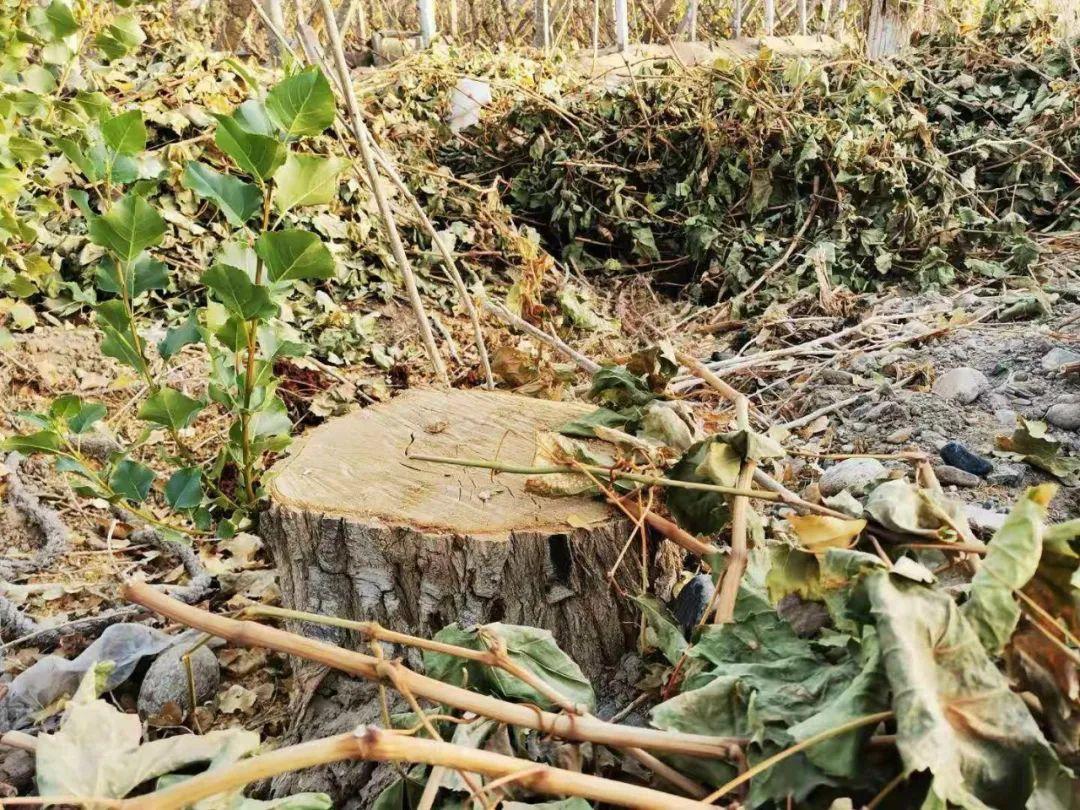 图为林场内一颗被砍伐后留下宛如碗口粗的树桩。(2020年10月24日,记者李金红摄)