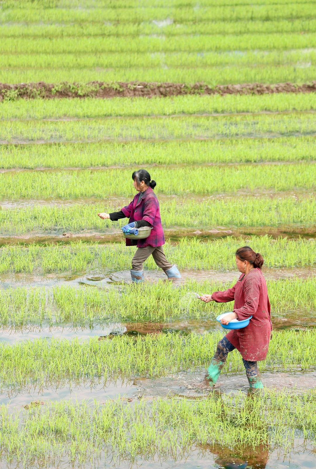 2021年4月6日, 四川省广安华蓥市古桥街道合力村的农民在田间给秧苗施追肥
