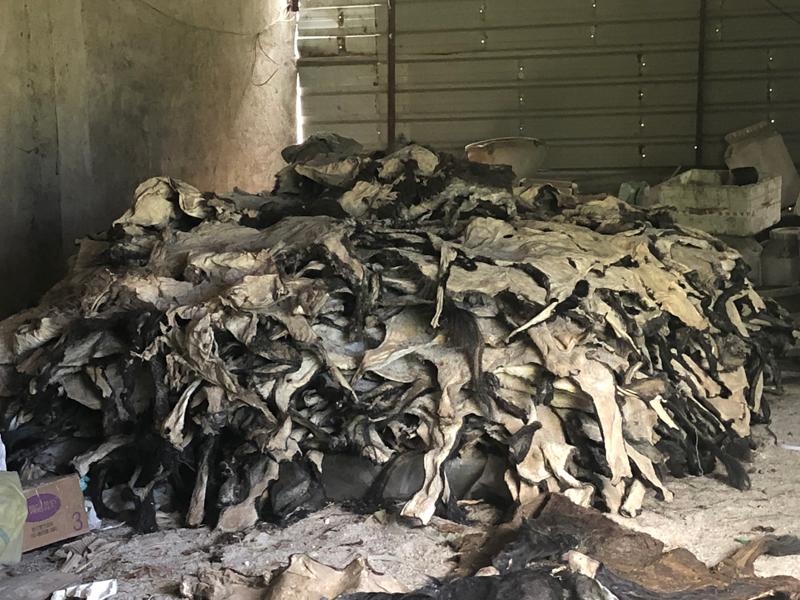 山东某毛驴养殖基地,仓库里堆积的驴皮。  摄影/吴绵强