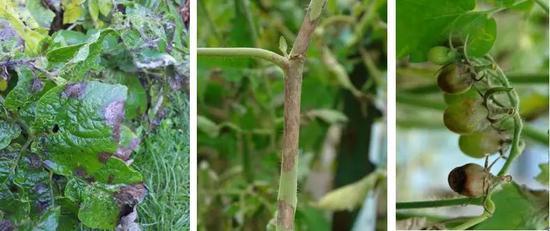 感染晚疫病的番茄叶(左)、茎(中)、果(右)