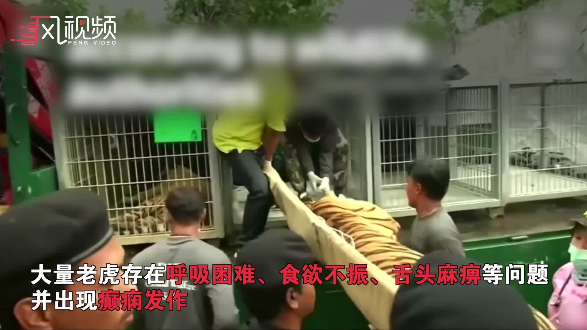 147只老虎从泰国寺庙被救出 因近亲繁殖86只不幸死亡