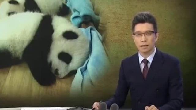 又来啦!熊猫也逃不过朱广权的段子