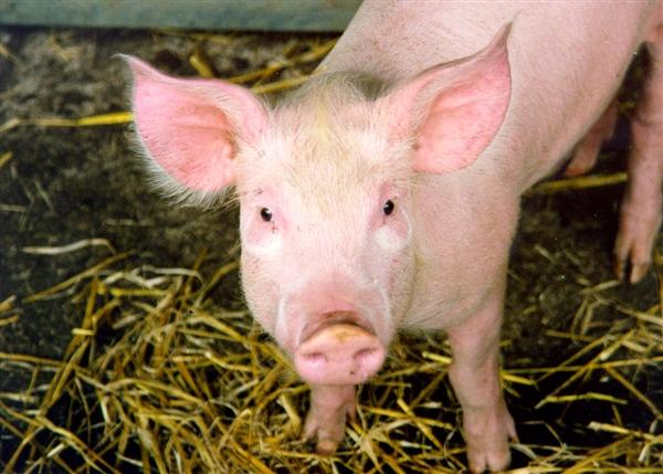 吃货界终极难题:猪油该不该吃?真相了 猪油热量