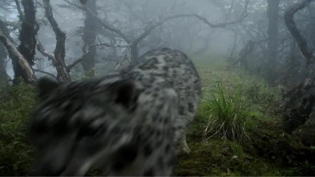 雪豹闯入熊猫地盘!大熊猫栖息地首次拍到雪豹
