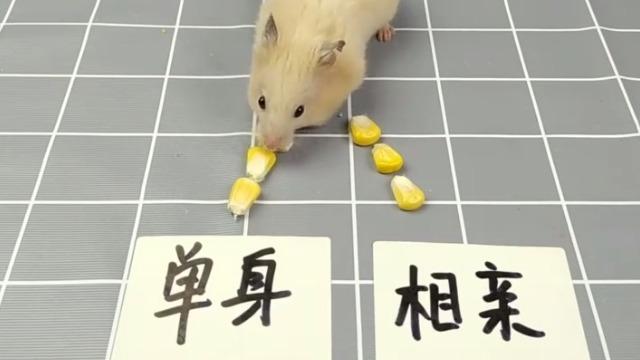 主人给仓鼠准备了单身跟相亲两个选择 猜猜它会选哪个?