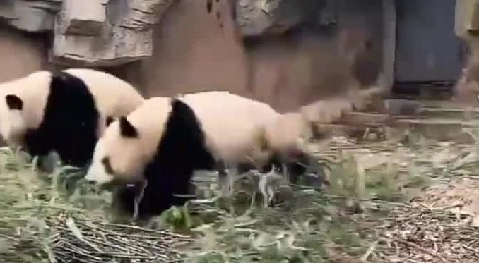 四川绵阳4.6级地震 熊猫扔下竹子瞬间上树
