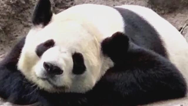 呆萌可爱!加拿大出生龙凤胎大熊猫回国喜迎春节啦