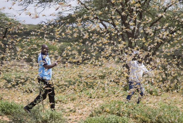 1000萬民眾身陷蝗蟲肆虐之地 東非蝗災可能釀人道主義危機