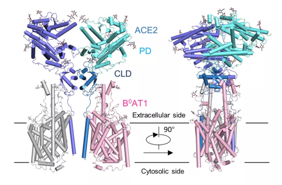 西湖大学成功解析新冠病毒细胞受体的空间结构插图2