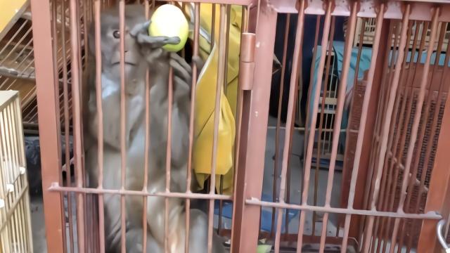胆真大!疫情当前男子贩卖猴子 还没出手就被抓了