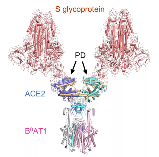 西湖大学成功解析新冠病毒细胞受体的空间结构插图3