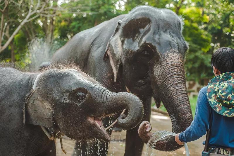 """受疫情影响,泰国上千头大象面临""""失业""""和挨饿"""