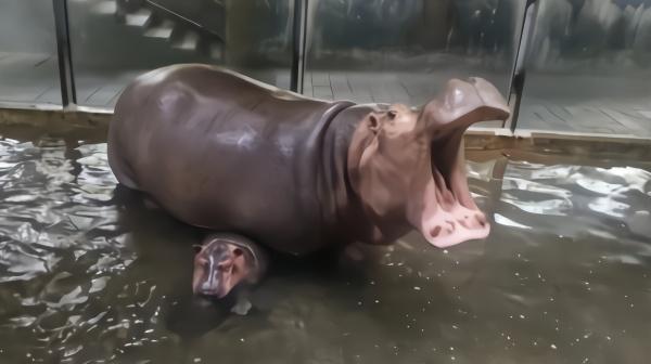 萌翻!上海动物园河马宝宝诞生