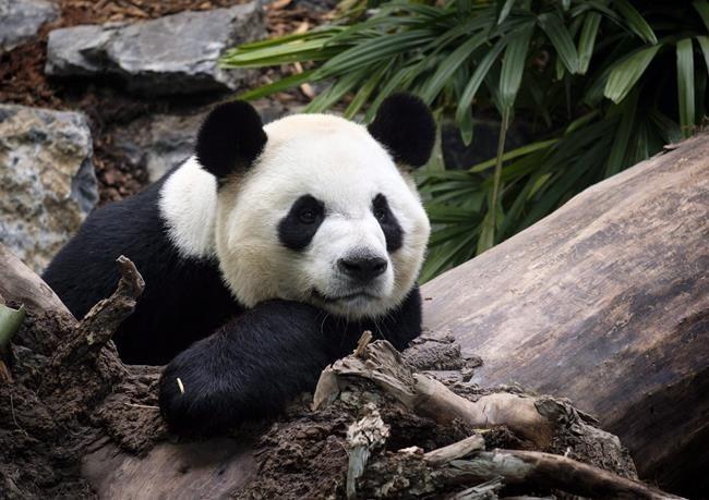吃不到新鲜竹子 旅加大熊猫将提前两年回中国(图)