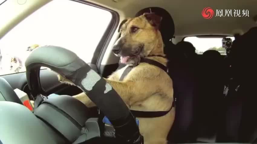 驾考过了吗?新西兰小狗8个星期学会开车