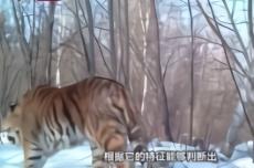 吉林天桥岭发现野生东北虎新个体(视频)