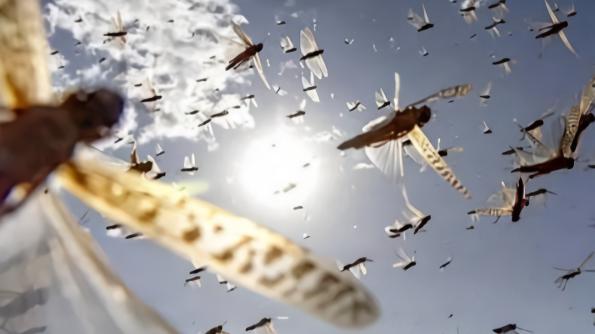 成群蝗虫入侵印度多个邦,新冠疫情最严重地区遭遇双重灾难