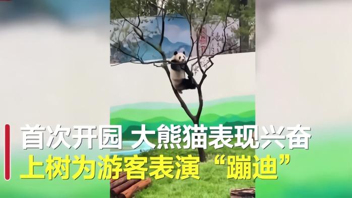 大熊猫表演蹦迪把树枝压断 游客:熊猫来到东北蹦迪洗浴都学会了