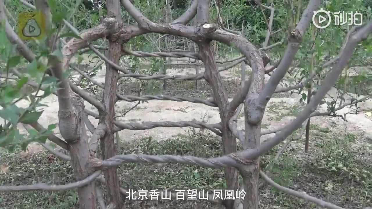 曾被人说白日做梦! 老农耗时17年种出椅子树
