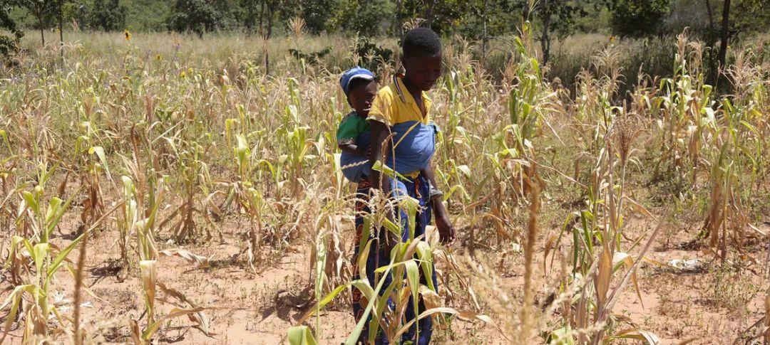 在津巴布韦遭受干旱影响,农民种不出够吃的粮食