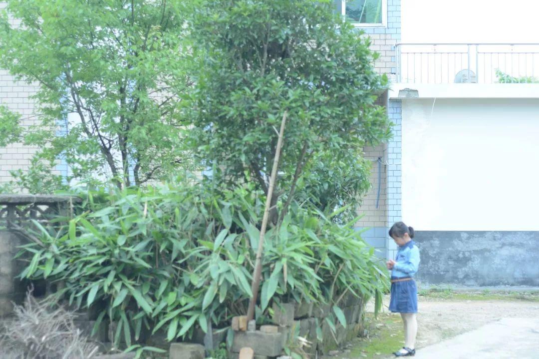 屋后的一丛箬竹叶,这些年也长大了不少