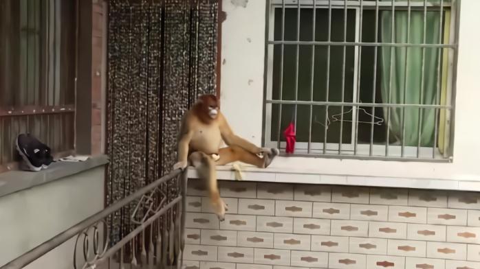 """你家伙食不错!被村民投喂后 """"国宝""""金丝猴蹭吃蹭喝不走了"""