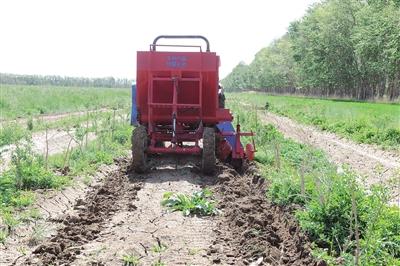 枸杞专用追肥机进行施肥作业
