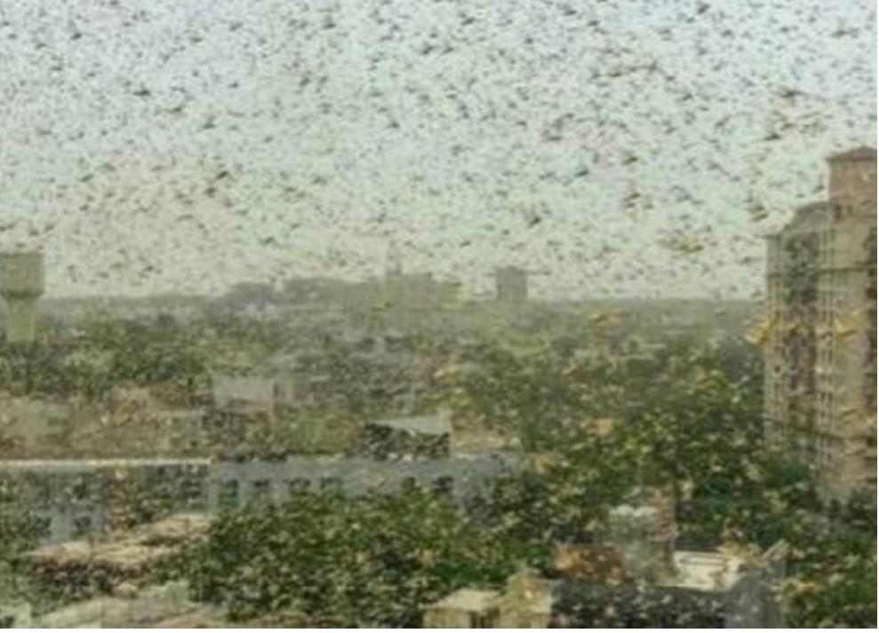 罕见规模蝗虫群袭击印度首都 15分钟铺满房顶阳台