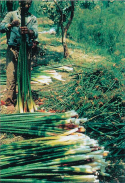 现代开罗为旅游业商品用纸收割纸莎草茎秆。