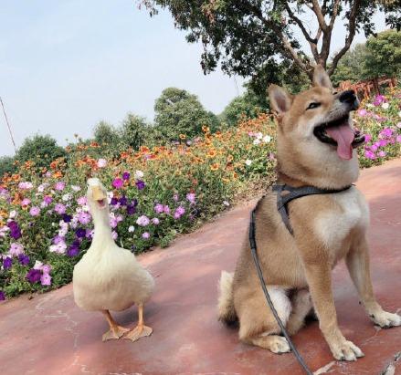 """宠物鸭""""吉吉""""和宠物犬""""瓢哥"""""""