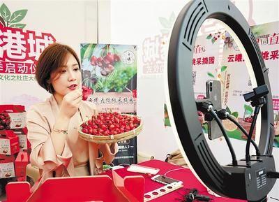 近日,网络主播在秦皇岛市海港区杜庄大樱桃采摘节上帮助果农直播销售樱桃。