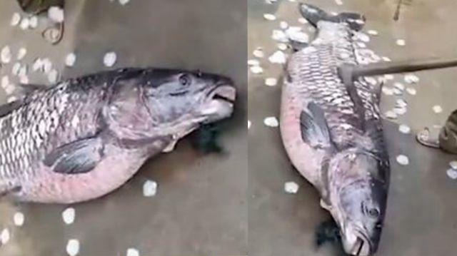 湖南一水库捞出145斤大鱼 工作人员:已经吃掉了