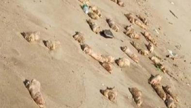 离奇!东莞海滩惊现上万只猪蹄 每一只都超大