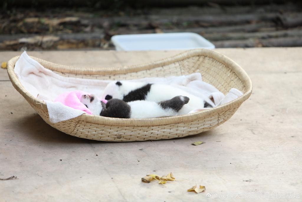 大熊猫双胞胎顺顺溜溜病亡 成都大熊猫基地公布两幼仔死因