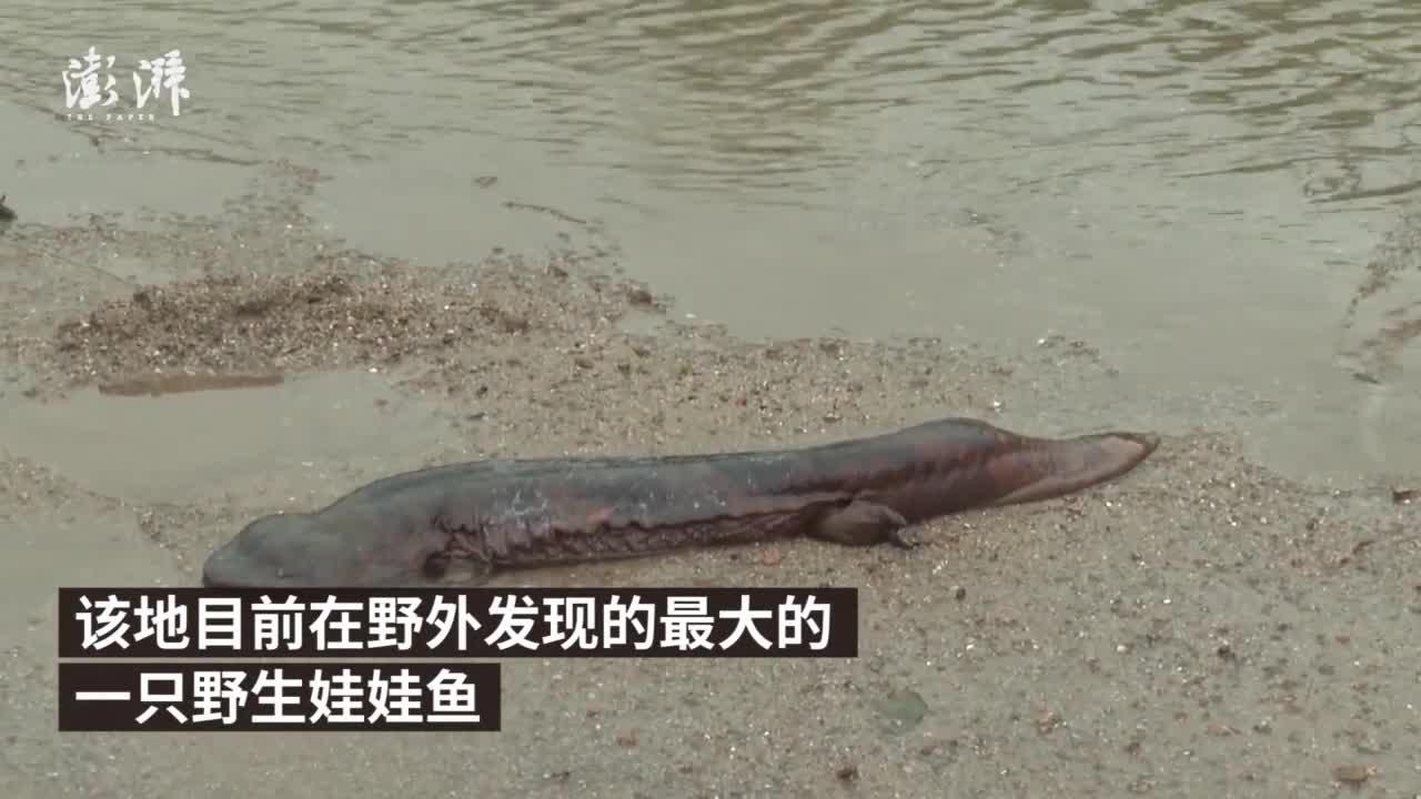 村民发现超大野生娃娃鱼:体长约1米,重近10斤