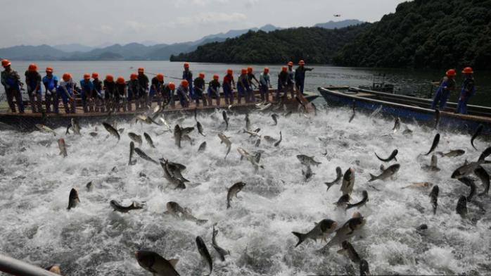 浙江千岛湖巨网捕鱼泄洪后第一网 50000斤胖头鱼来了