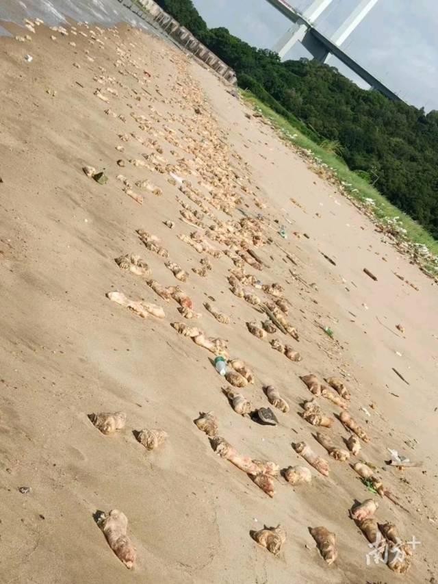 【海军上将泰勒的保险箱】_大量猪蹄现身东莞海滩追踪:未流入市场,来源仍无法判定