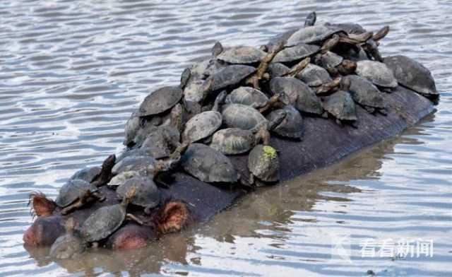 英媒炒作金正恩要求拿乌龟肉当口粮 朝媒辟谣